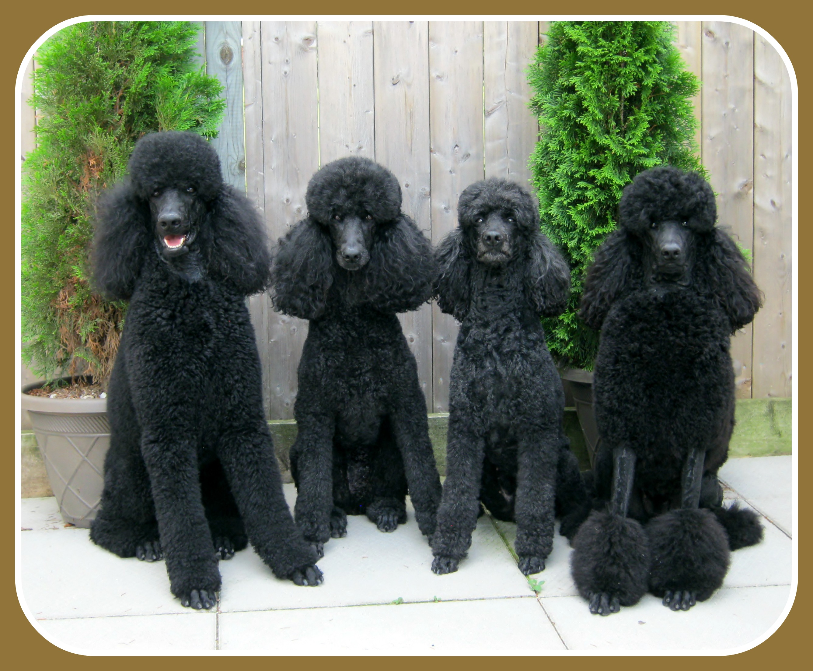 Brown and Black Standard Poodle Breeder Beaucaniche ...